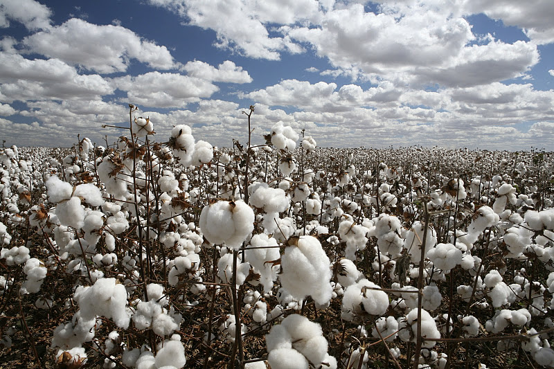 Cotton Incorporated wants to double yields by 2050 while reducing cotton's environmental footprint.