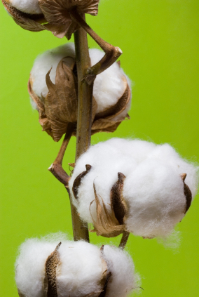 Organic cotton is one of the most preferred eco fibres and is gaining popularity across the globe.
